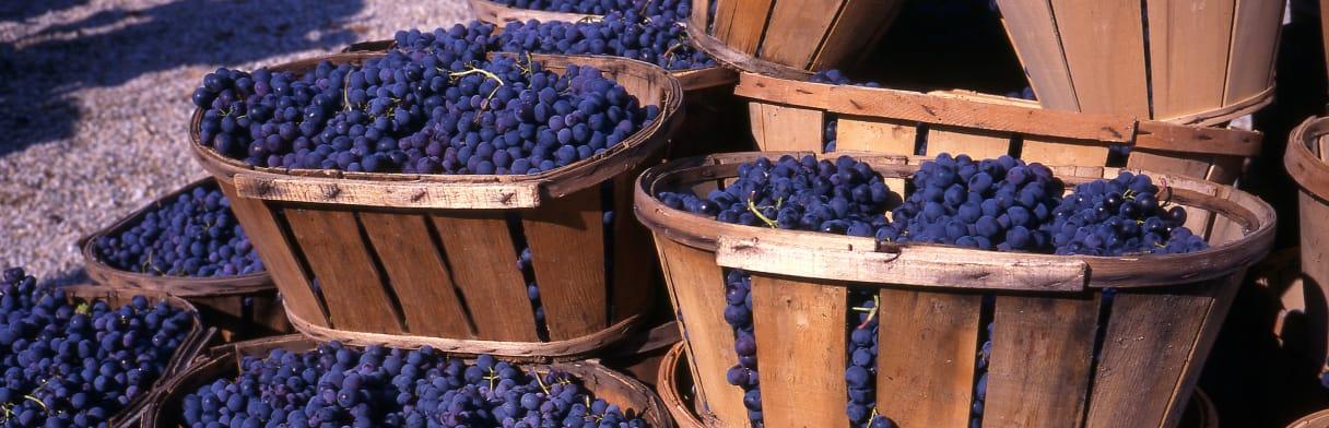 Cantine Paolini - Körbe mit geernteten Rotweintrauben