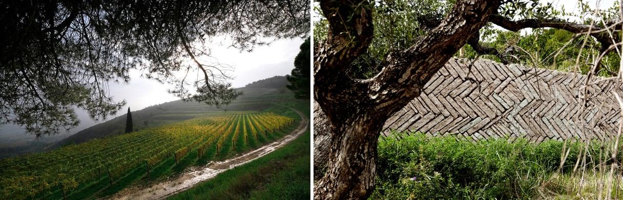 Rebstöcke auf einem kleinen Hügel und ein Olivenbaum vor einer alten Steinmauer