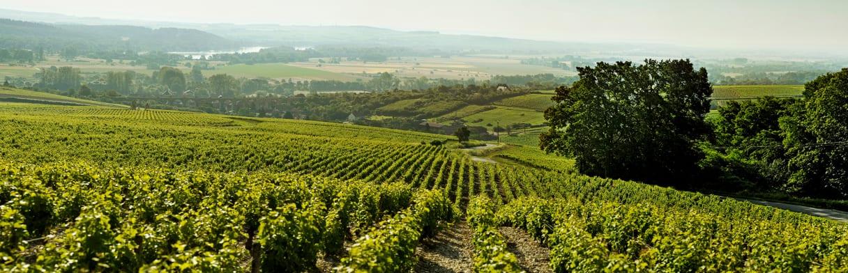Die Weinberge von der Domaine Gitton Père & Fils an der Loire