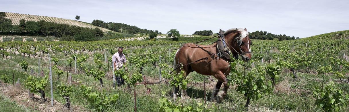 Domaine de Beaurenard - Winzer beim Plügen der Weinreben mit Pferdewagen