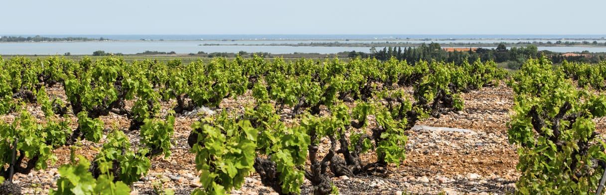 Domaine Lafage Buschreben mit Bucht im Hintergrund