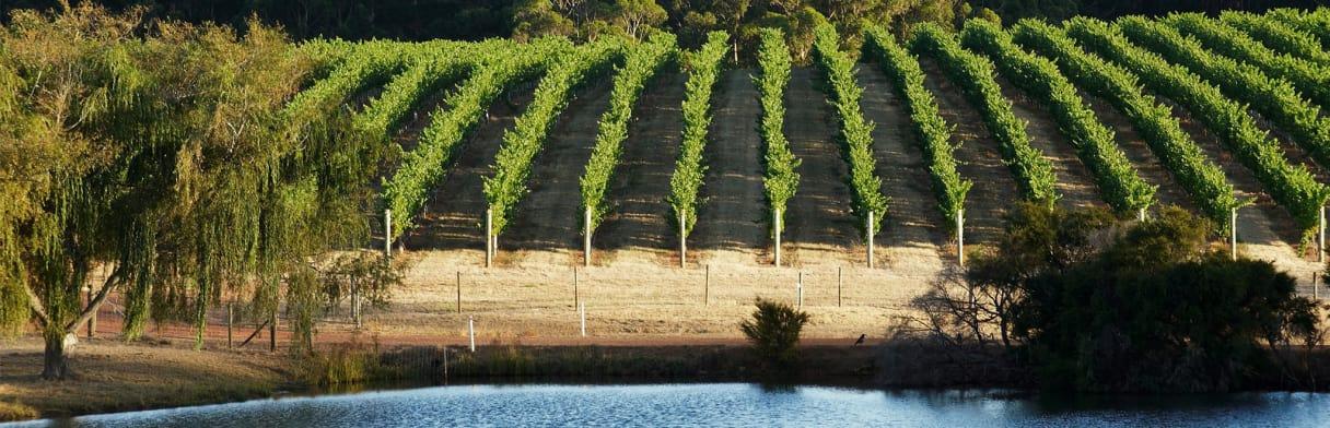Larry Cherubino - Weinreben an einem Teich