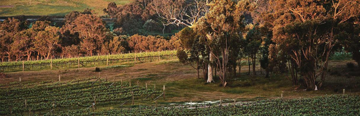 Larry Cherubino - Weinreben in australischer Landschaft