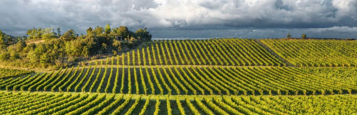 Les Vignerons du Sieur d'Arques Weinreben im Abendlicht