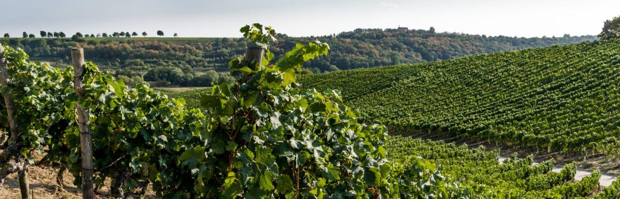 Winzerhof Stahl Weingut Rebsorten