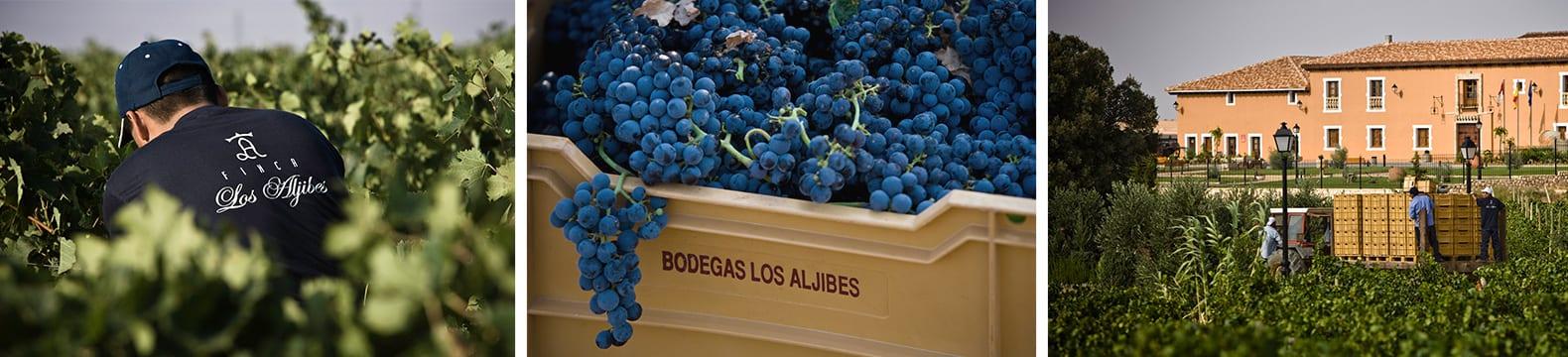 Impressie van de druivenoogst in Bodega Los Aljibes