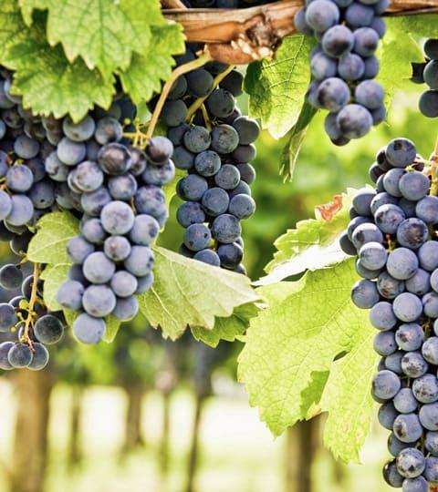 cabernet sauvignon, wein aus Frankrijk