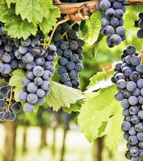 Cabernet Sauvignon, wein aus Italie