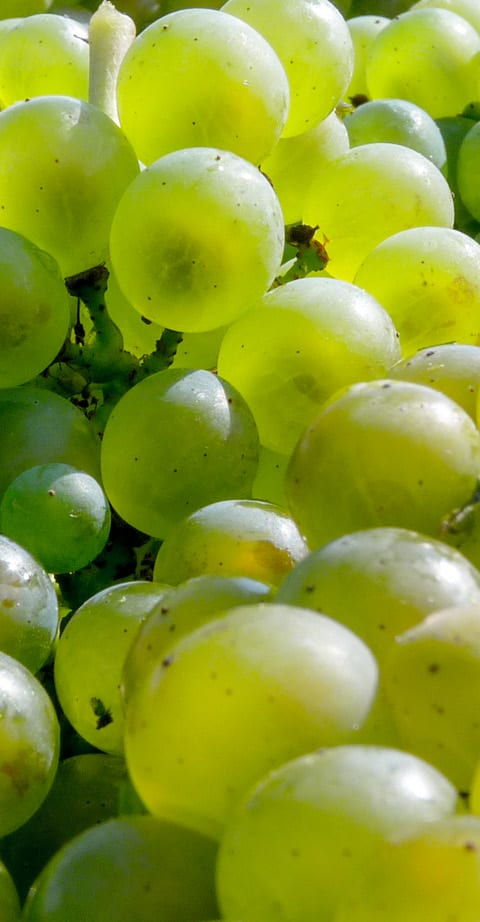 Chardonnay, wein aus Argentine