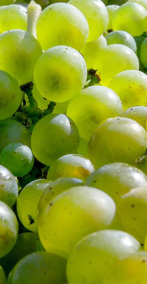 Chardonnay, wein aus Italie