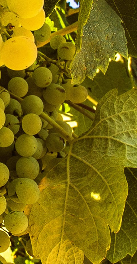 Chenin Blanc, wein aus Afrique du Sud