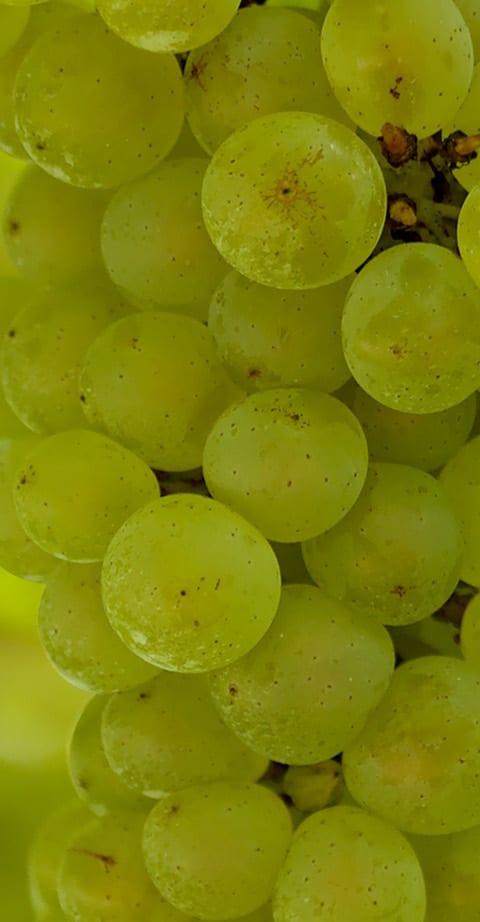Pinot Blanc, wein aus Frankreich