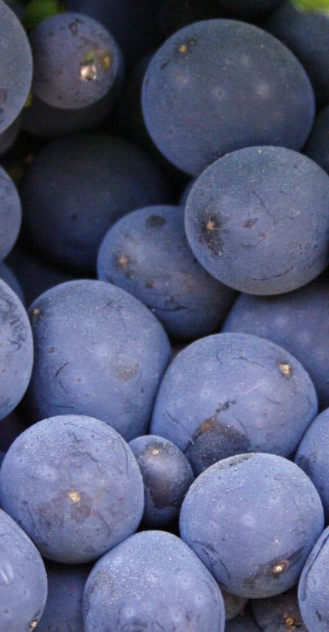 Pinot Meunier, wein aus France