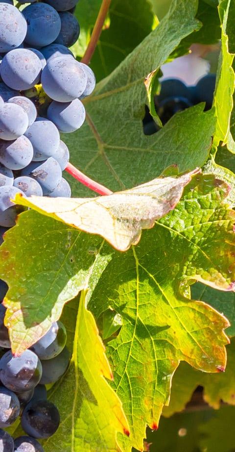 Pinotage, wein aus Afrique du Sud