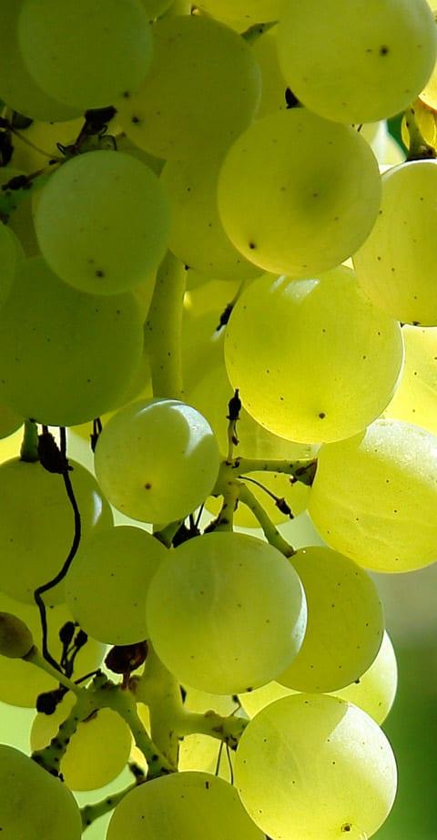 Sauvignon Blanc, wein aus Südafrika