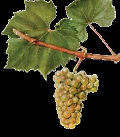 Chardonnay druif