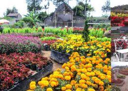 tempat wisata taman bunga begonia lembang bandung