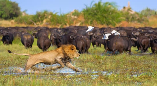 okavango lion buffalo herd