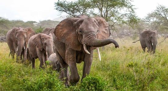 1 slide elephants pano