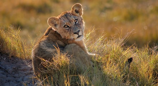 botswana lion cub sunset