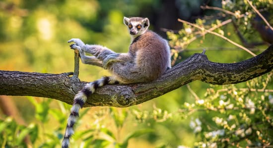 1 slide madagascar ring tailed lemur in tree pano