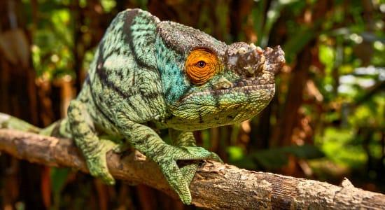 madagascar parsons chameleon
