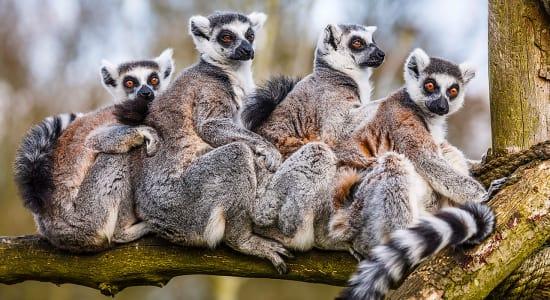 1 slide madagascar lemurs family pano