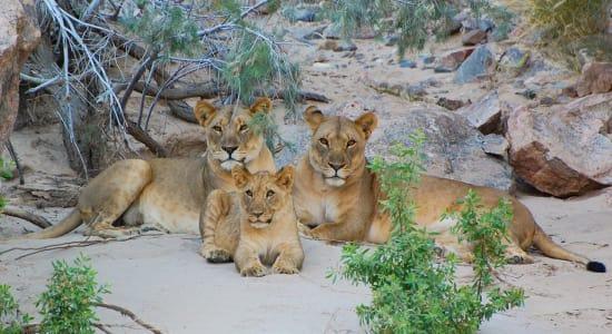 desert lions sand africa