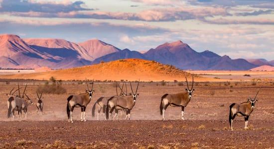 gemsbok oryx herd namibia