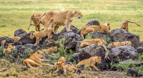female lions pride zimbabwe africa
