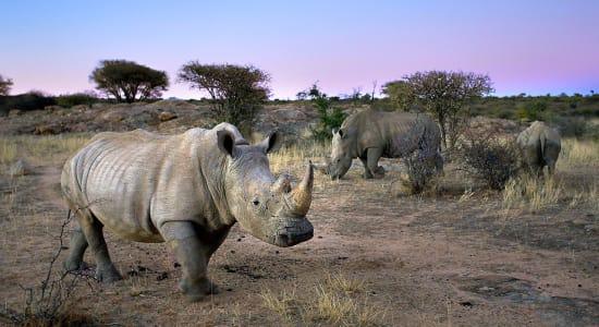 1 slide namibia rhinoceros grassland pano