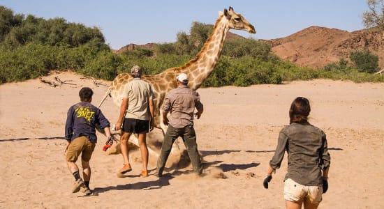 namibia giraffe release