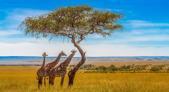 giraffe plains namibia green season