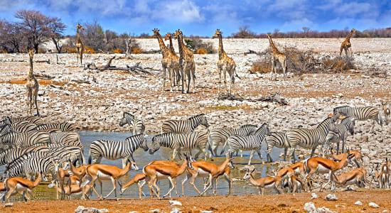 namibia etosha national park watering hole giraffes zebras springbok