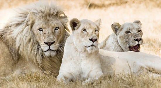 1 slide lion family pano