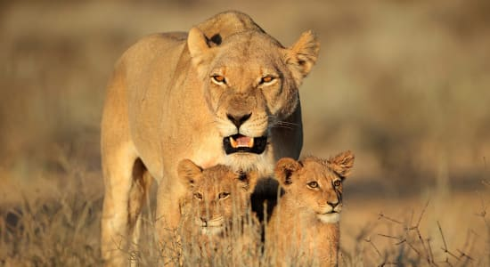 lions tanzania female cubs africa