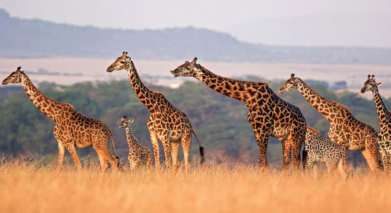 1 slide tanzania giraffes walking pano
