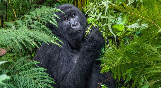 1 slide uganda gorilla pano