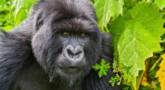 uganda gorilla portrait