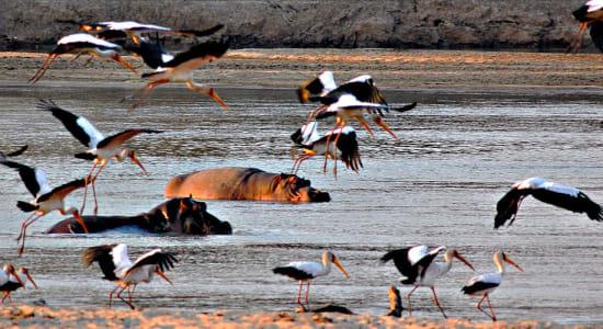 zambia birds hippopotamus wetlands river