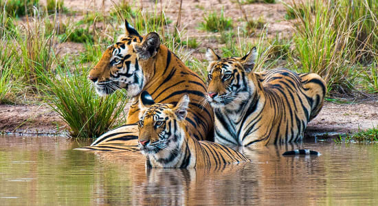 bengal tigers india three water