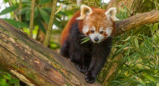 red panda india wildlife