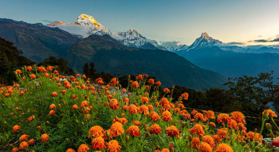 nepal annapurna range wild flowers mountain sunset