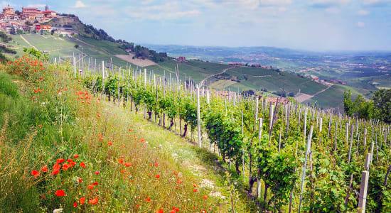 italy piemonte vineyard