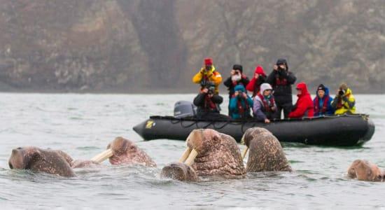 walrus arctic wrangel island zodiac