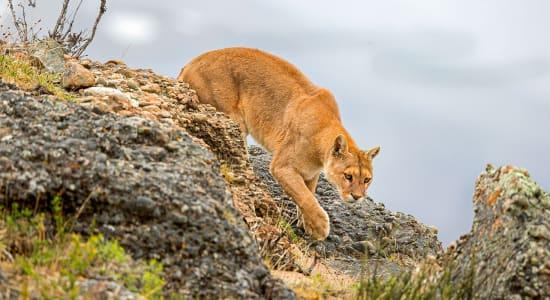 patagonia torres del paine puma