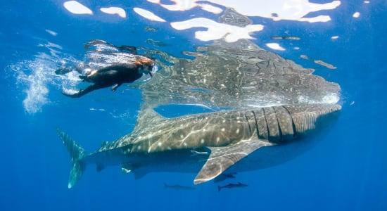 baja whale shark swimming