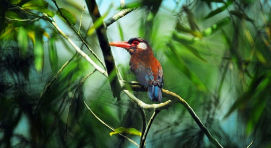 1 slide amazon river woodcreeper bird in jungle pano