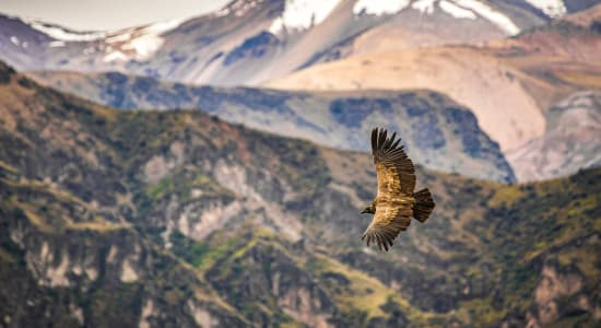 peru colca canyon andean condor in flight