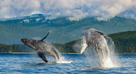 alaska cruise humpback whales jump